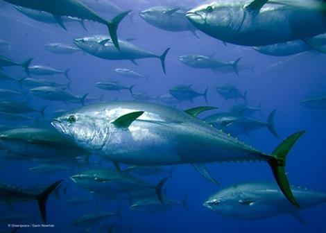 Biện pháp IOTC hỗ trợ giá cá ngừ nữa sau 2017